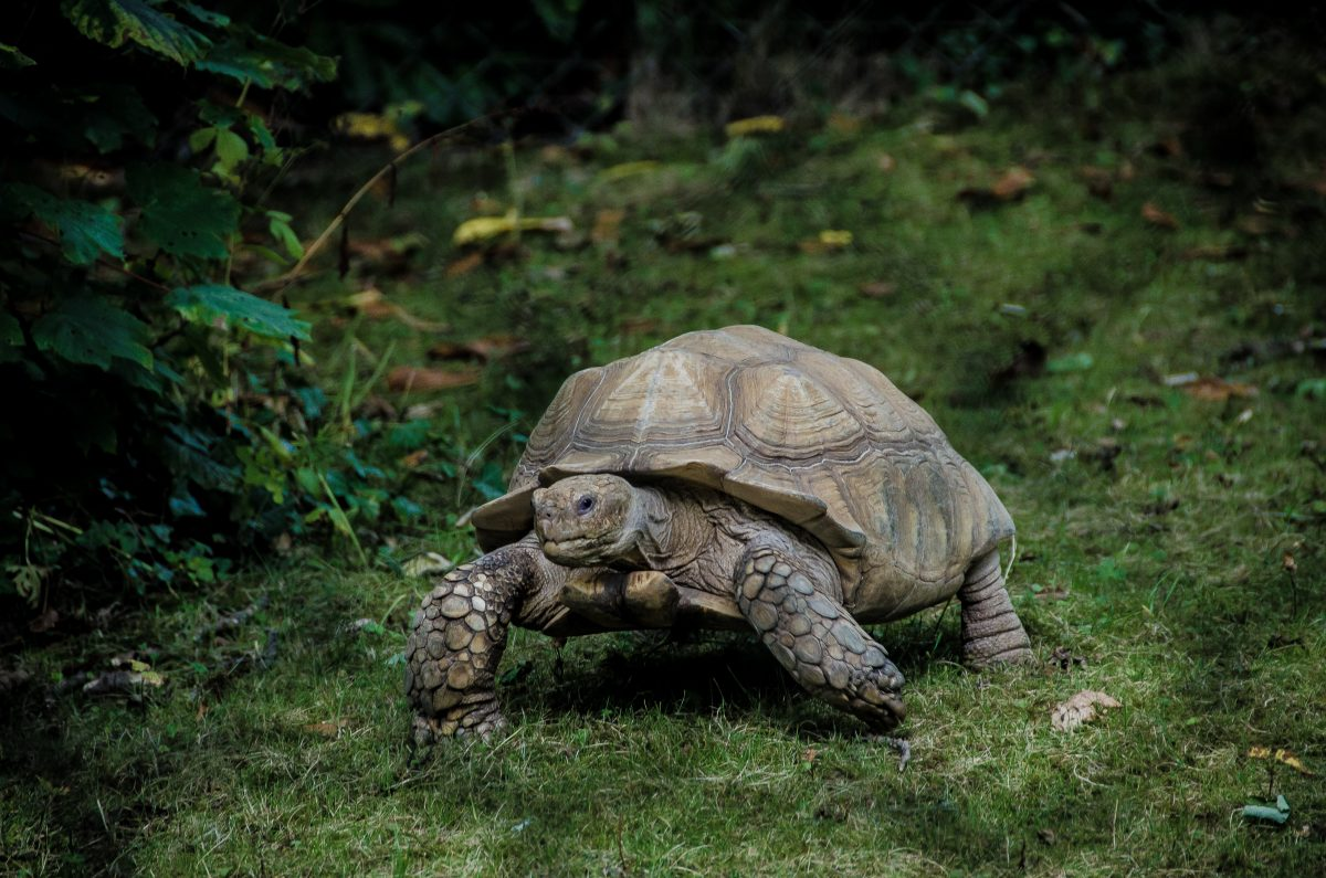gray tortoise walking on green grass field